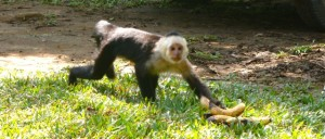 Capuchin Monkey stealing some Bananas at one of the sustainable farms