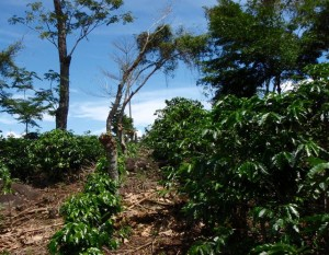 A coffee farm in the mountains of the Alexander Skutch biological Corridor where volunteers go