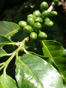 Coffee plant on one of the organic farms that produces shade grown and organic coffee