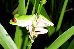 Red-eyed tree frog near an organic sustainable farm on the Osa Peninsula