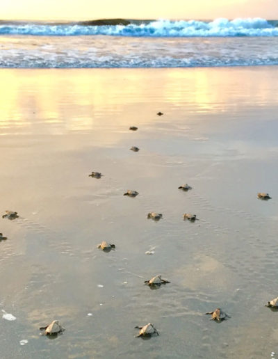 Turtlesreleasinginocean