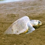 Turtle Conservation Project Costa Rica